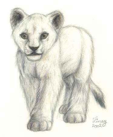 Lion Cub Drawing. White lion cub drawn after a